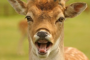 deer laughing