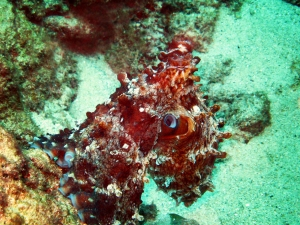 Large Pacific Octopus at Sunabe