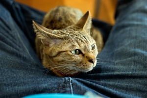 Kyoto Japan Winter 2014, Cat Cafe Nekokaigi, my new cat friend is a crotch snuggler