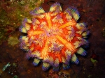 Okinawa Nov 2013, Scuba Diving Horseshoe, fire sea urchin