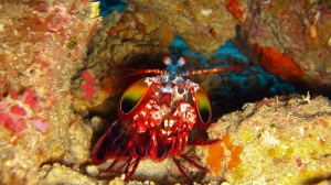 One of my favorite pearls of the underwater world:  Praying Mantis Shrimp