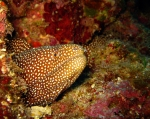 Scuba Diving Okinawa Apr 2014, Deep Specialty, spotted eel at Horseshoe