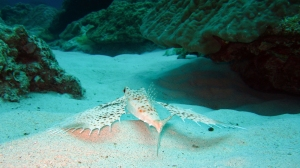 Flying Gurnard in the Kerama Islands