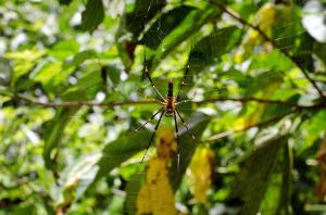 "Okinawa's famed ""Banana"" Spiders"