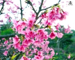 Okinawa Cherry Blossom Festival 2015, Nakajin Castle, up close and in full bloom 2 WM