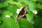 Okinawa Apr 2015, Strawberry Picking, butterfly pollenator WM
