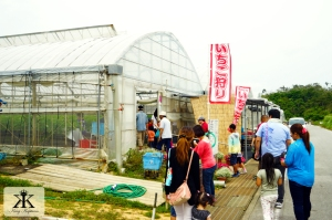 Okinawa Apr 2015, Strawberry Picking, countryside greenhouses 2 WM