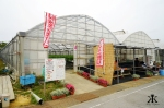 Okinawa Apr 2015, Strawberry Picking, countryside greenhouses 3 WM