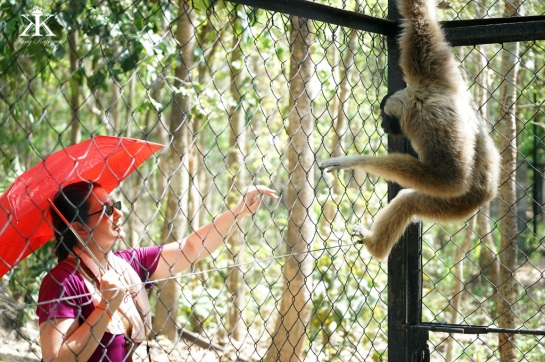 The only gibbons we saw were caged in a wildlife rescue center.