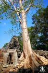 Cambodia 2015, Banteay Kdei, tree rooted in the ruins WM