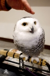 kobe-2016-owl-cafe-petting-a-petite-owl-wm