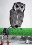 kobe-2016-owl-cafe-small-gray-owl-wm