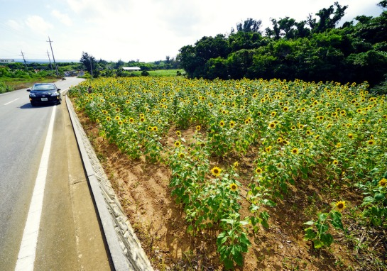 MIyakojima Sunflower Field